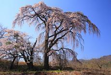 館のしだれ桜