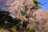 余地のしだれ桜