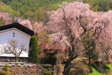 日向のしだれ桜
