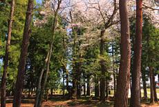 高根神社のエドヒガン