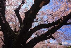 大町西小学校の桜