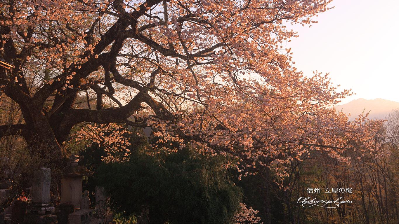 立屋の桜 壁紙
