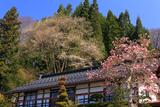 金刀毘羅神社神代桜