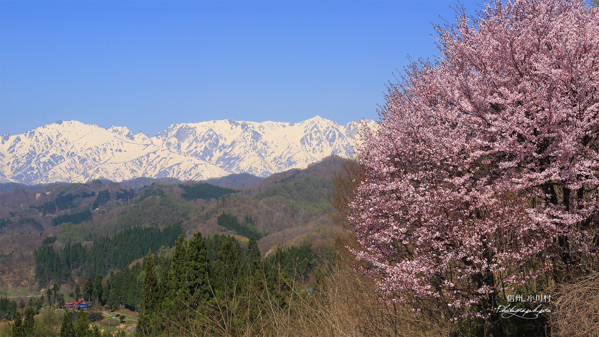 星と緑のロマントピアの桜