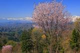 小川天文台の一本桜