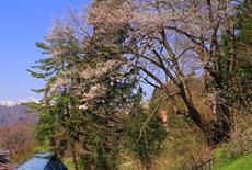 金刀比羅神社神代桜