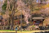 伝行山の徹燃桜