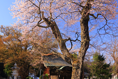 八方薬師堂の江戸彼岸桜