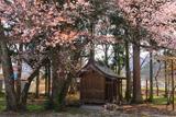 深沢十郎様の大山桜