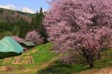 白馬村 嶺方堀田の儀重桜