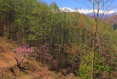 入山の御殿桜