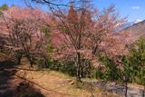 松本市 入山の桜並木