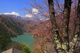 松本市 入山集落の桜