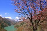 松本市 大山桜と梓湖