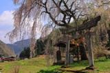 黒川天満神社のしだれ桜