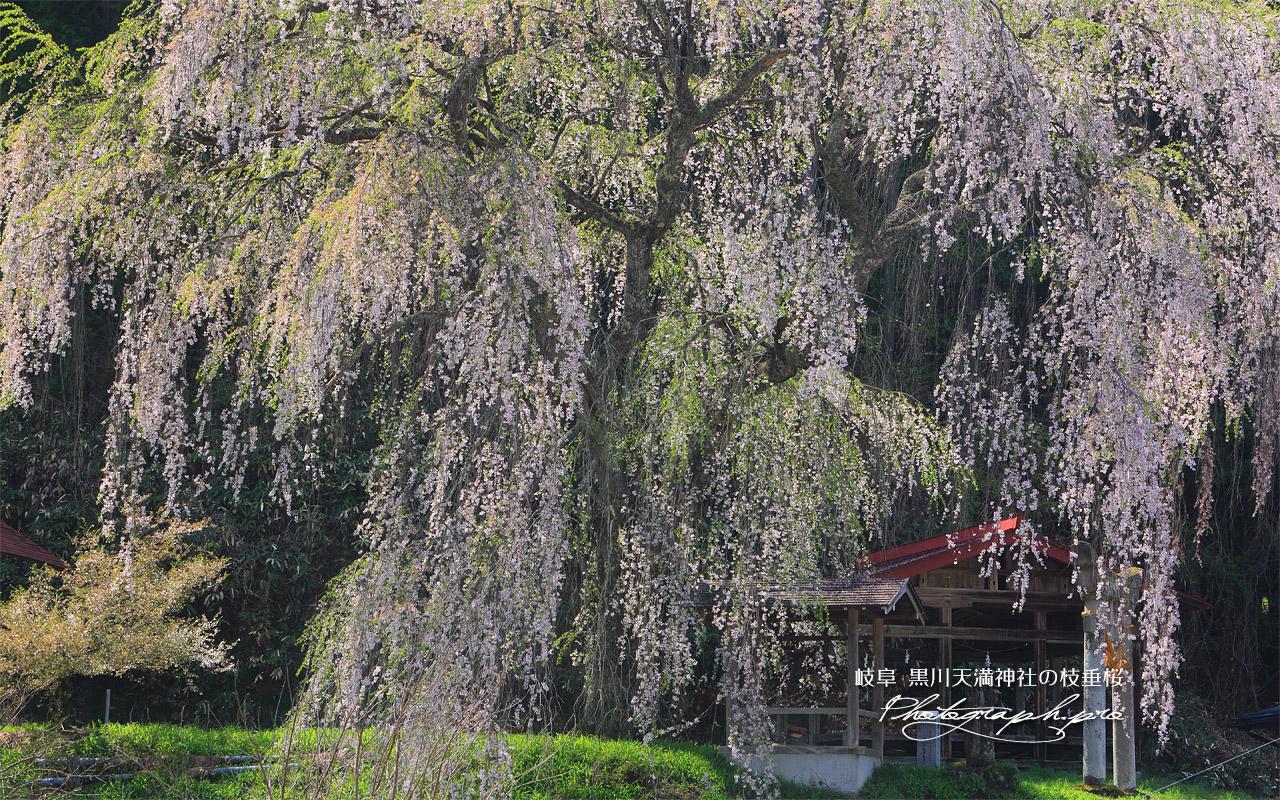 黒川天満神社の枝垂桜 壁紙