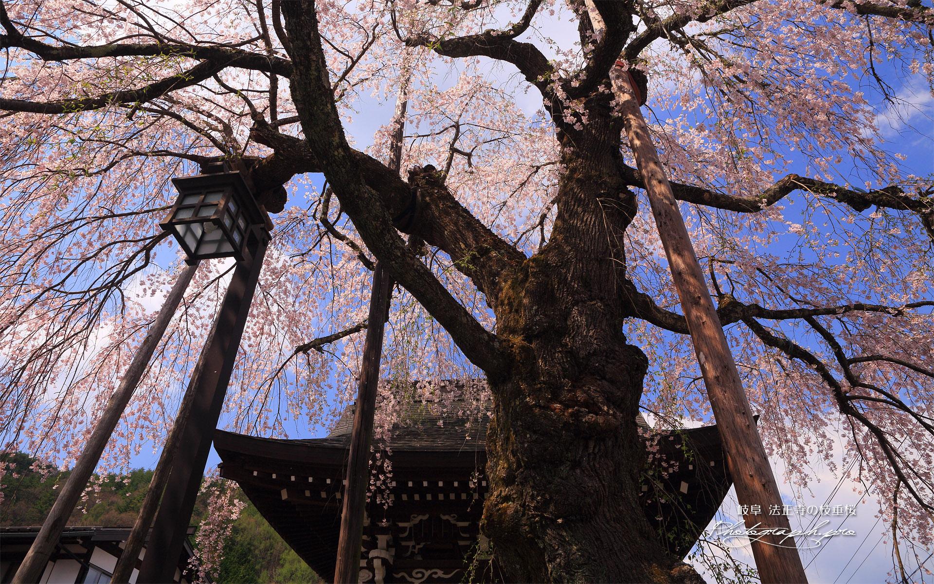 法正寺のしだれ桜