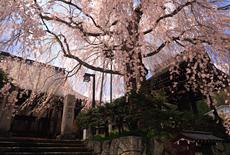 法正寺の枝垂桜