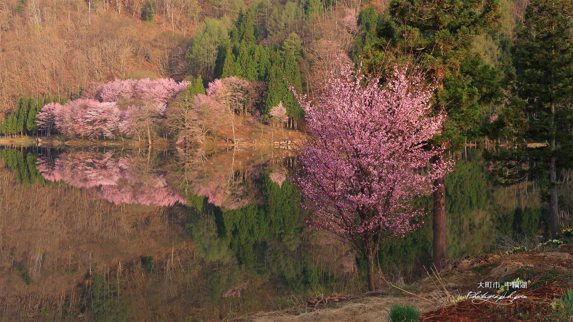 中綱湖の一本桜