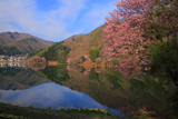 中綱湖の大山桜