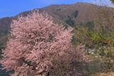 大町市 木崎湖の桜