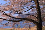 大町市 海ノ口公民館の大山桜