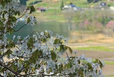 木崎湖の桜