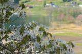 大町市 海ノ口公民館の霞桜