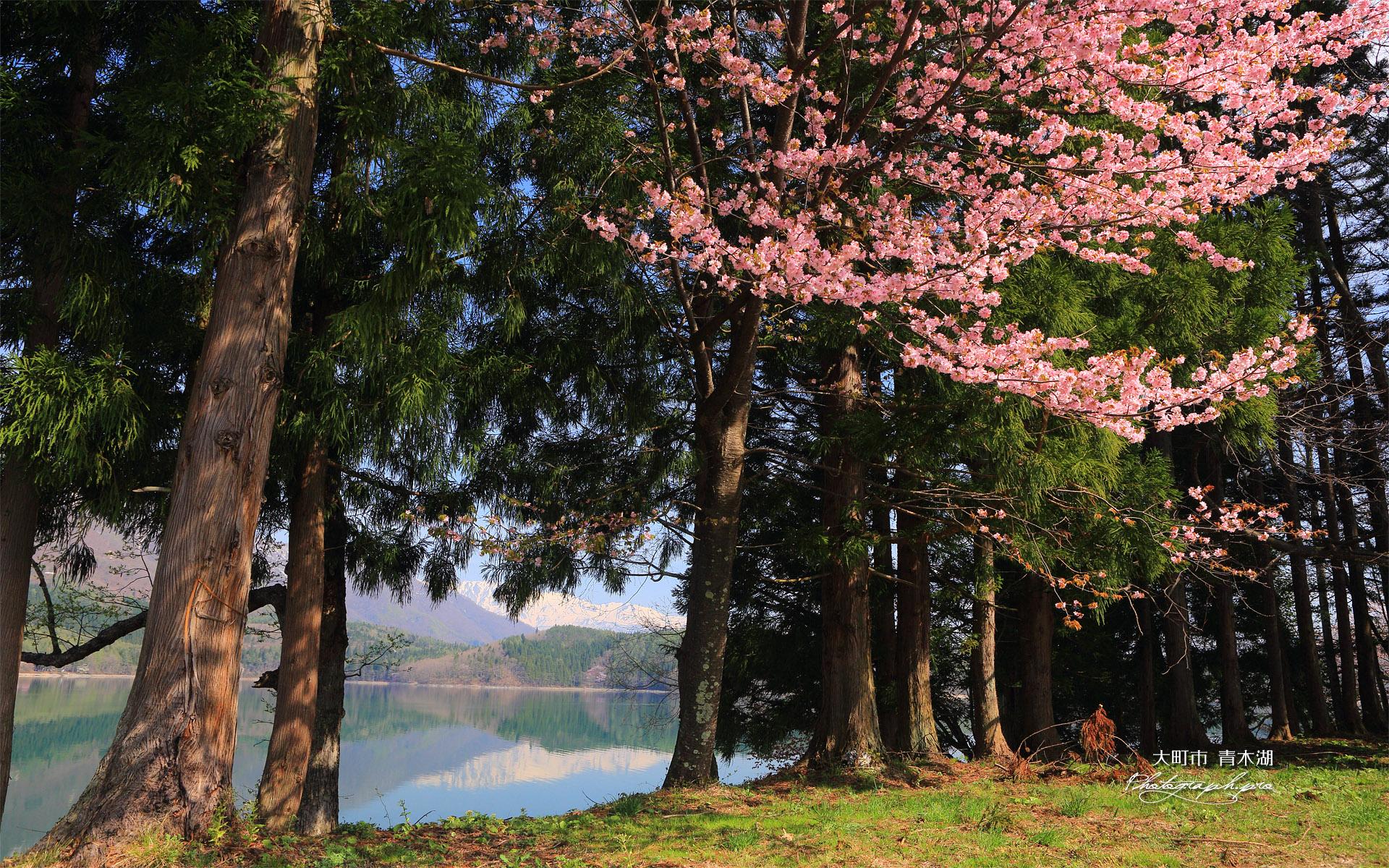 大町市 青木湖の大山桜