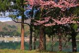 大町市 青木湖の桜
