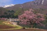 青木湖の一本桜