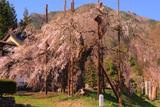 西光寺のしだれ桜