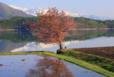青木湖の桜