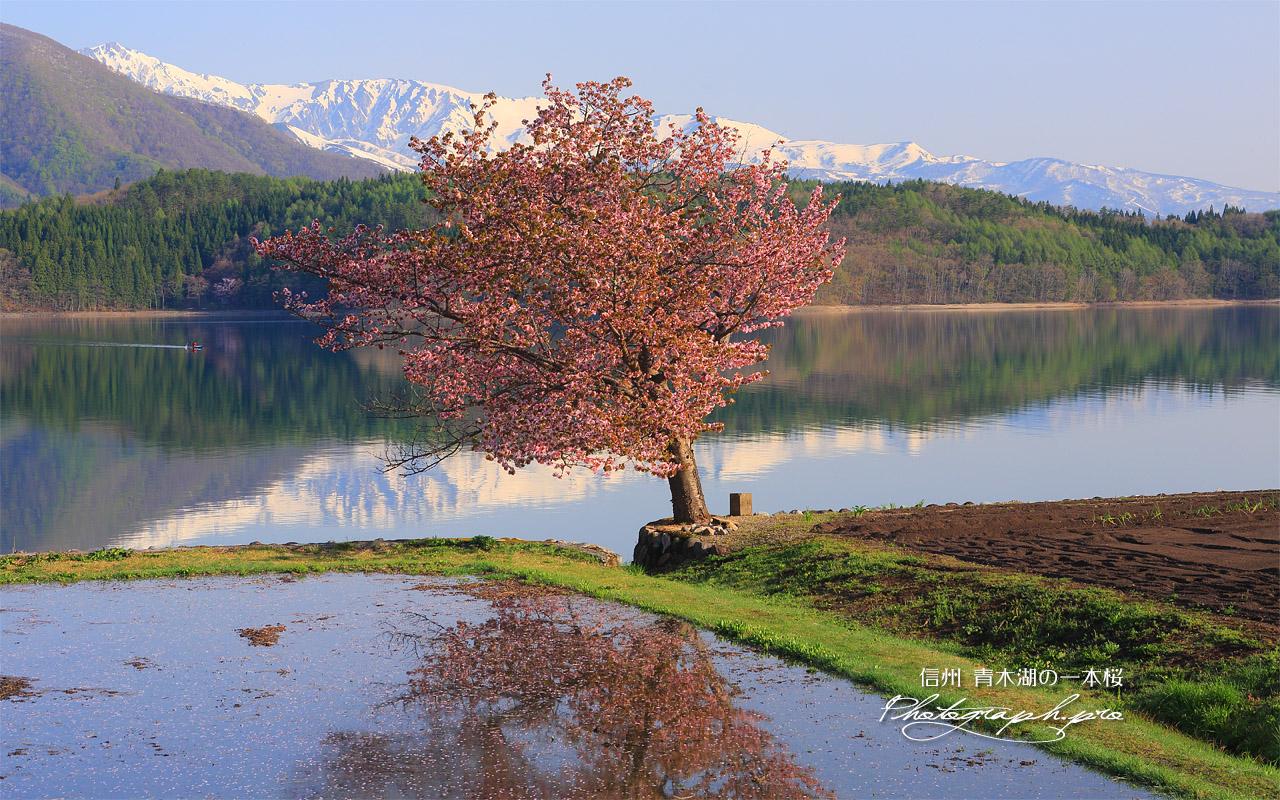 青木湖の一本桜 壁紙