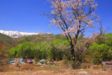 明川の藤左衛門桜