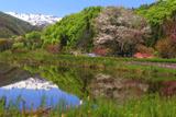 明川の豆桜