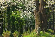 切久保の霞桜