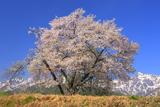 瑞穂の霞桜