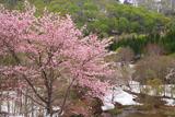 奥裾花渓谷の桜