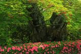 戒光寺 百年夫婦桜の花もみじ