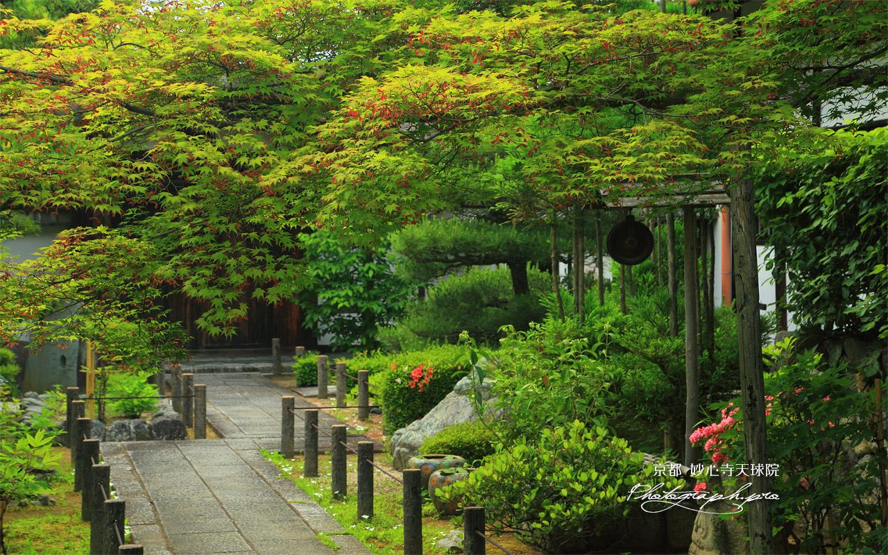 天球院 椛花 壁紙