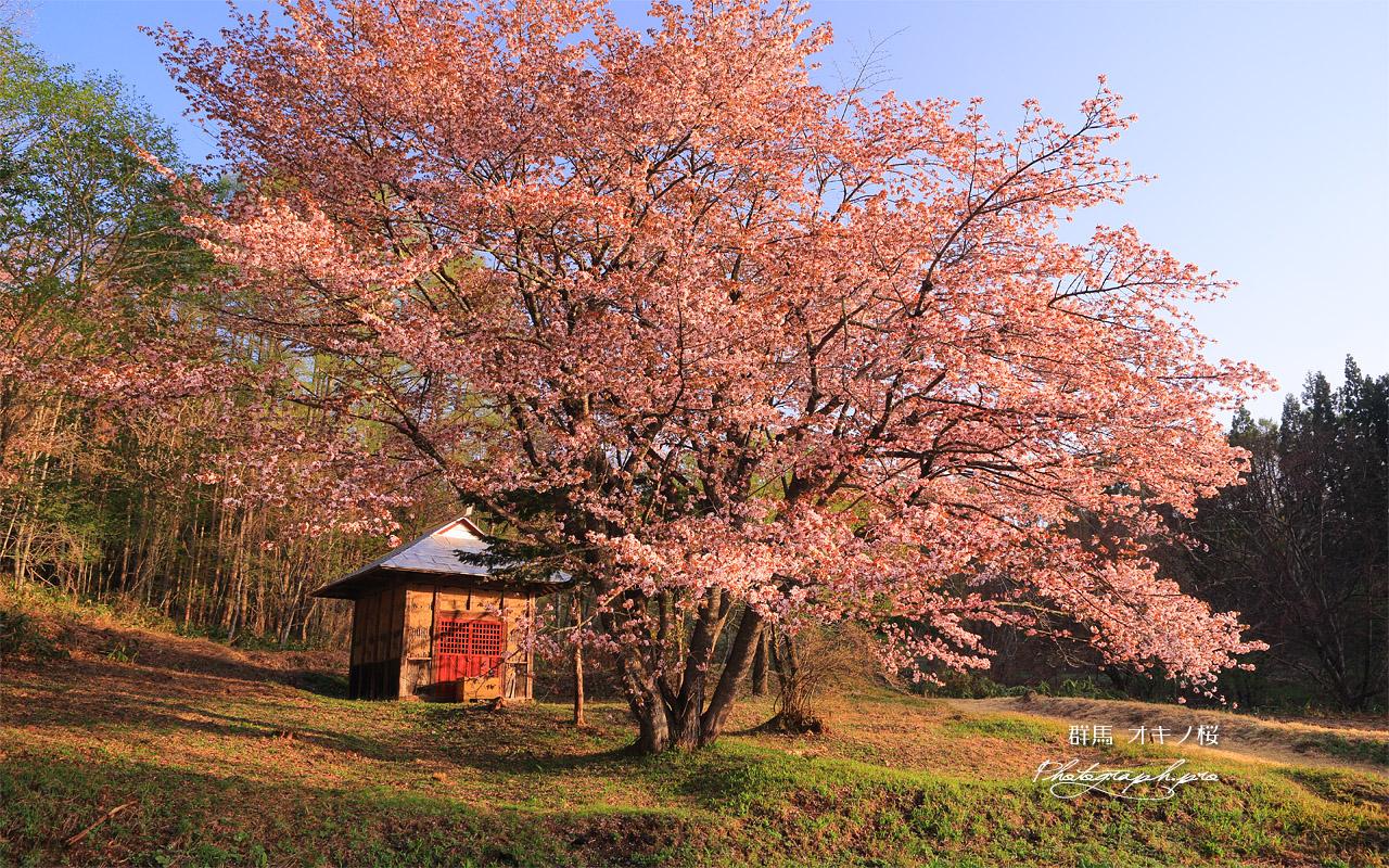 オキノ桜 壁紙