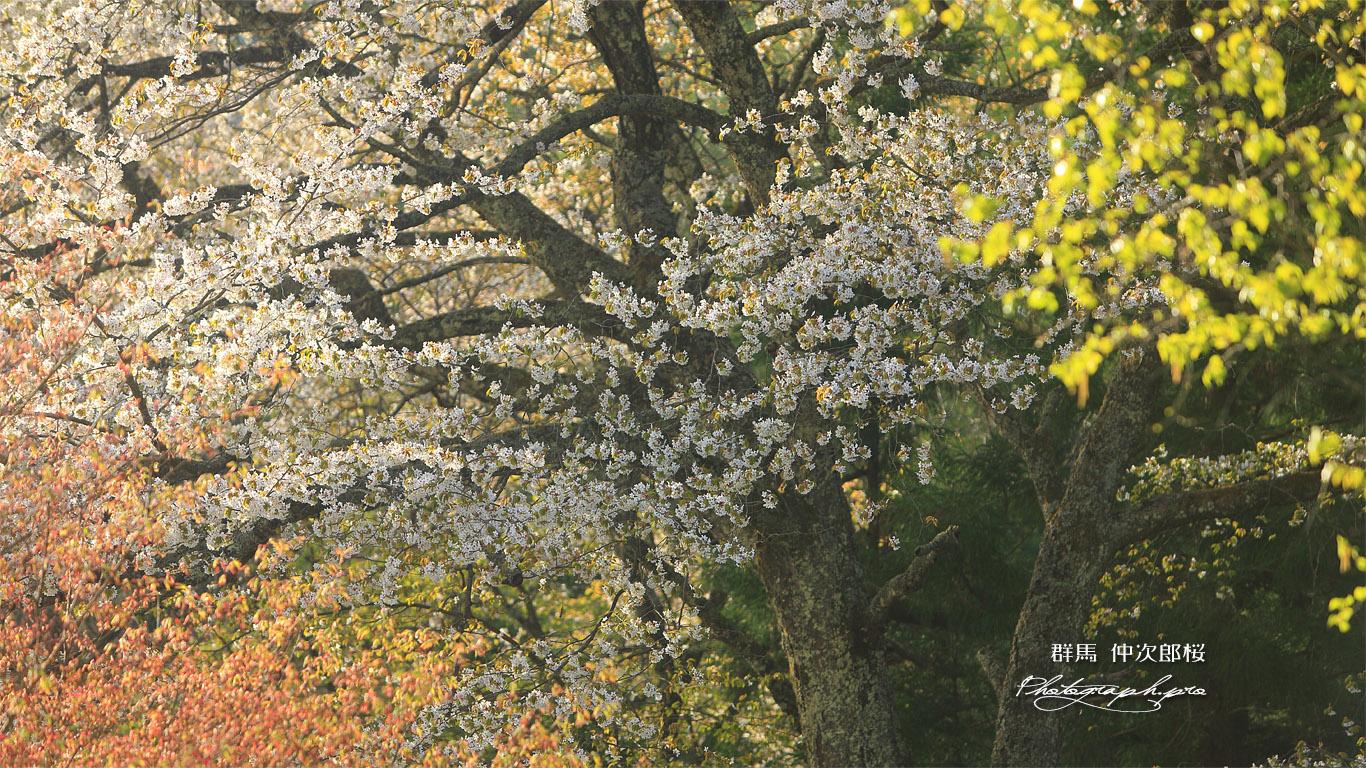 仲次郎桜 壁紙