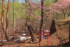 宝台樹の雷電桜