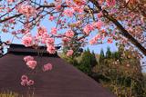 白馬村 青鬼の大山桜
