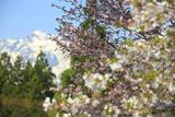 白馬村 青鬼の桜と五竜岳