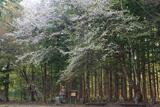 白馬村 観音原の桜