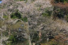 深沢十郎様の大山桜と霞桜