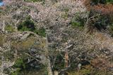 深沢十郎様の霞桜