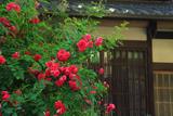 鞍馬本町の薔薇